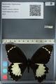 http://mczbase.mcz.harvard.edu/specimen_images/ent-lepidoptera/images/2012_10_26/IMG_133249.JPG