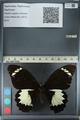 http://mczbase.mcz.harvard.edu/specimen_images/ent-lepidoptera/images/2012_10_26/IMG_133253.JPG