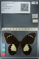http://mczbase.mcz.harvard.edu/specimen_images/ent-lepidoptera/images/2012_10_26/IMG_133256.JPG