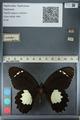 http://mczbase.mcz.harvard.edu/specimen_images/ent-lepidoptera/images/2012_10_26/IMG_133270.JPG