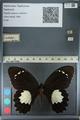 http://mczbase.mcz.harvard.edu/specimen_images/ent-lepidoptera/images/2012_10_26/IMG_133272.JPG