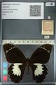 http://mczbase.mcz.harvard.edu/specimen_images/ent-lepidoptera/images/2012_10_27/IMG_133279.JPG