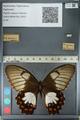 http://mczbase.mcz.harvard.edu/specimen_images/ent-lepidoptera/images/2012_10_27/IMG_133288.JPG
