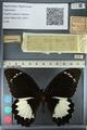 http://mczbase.mcz.harvard.edu/specimen_images/ent-lepidoptera/images/2012_10_27/IMG_133290.JPG