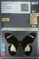 http://mczbase.mcz.harvard.edu/specimen_images/ent-lepidoptera/images/2012_10_27/IMG_133294.JPG