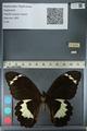 http://mczbase.mcz.harvard.edu/specimen_images/ent-lepidoptera/images/2012_10_27/IMG_133301.JPG