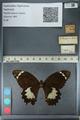 http://mczbase.mcz.harvard.edu/specimen_images/ent-lepidoptera/images/2012_10_27/IMG_133308.JPG