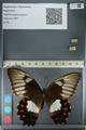 http://mczbase.mcz.harvard.edu/specimen_images/ent-lepidoptera/images/2012_10_27/IMG_133318.JPG