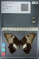 http://mczbase.mcz.harvard.edu/specimen_images/ent-lepidoptera/images/2012_10_27/IMG_133319.JPG