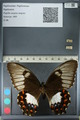 http://mczbase.mcz.harvard.edu/specimen_images/ent-lepidoptera/images/2012_10_27/IMG_133321.JPG