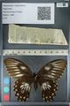 http://mczbase.mcz.harvard.edu/specimen_images/ent-lepidoptera/images/2012_10_27/IMG_133323.JPG
