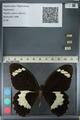 http://mczbase.mcz.harvard.edu/specimen_images/ent-lepidoptera/images/2012_10_27/IMG_133341.JPG