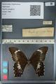 http://mczbase.mcz.harvard.edu/specimen_images/ent-lepidoptera/images/2012_10_27/IMG_133347.JPG