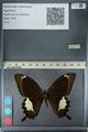 http://mczbase.mcz.harvard.edu/specimen_images/ent-lepidoptera/images/2012_10_27/IMG_133348.JPG