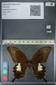 http://mczbase.mcz.harvard.edu/specimen_images/ent-lepidoptera/images/2012_10_27/IMG_133351.JPG