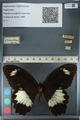 http://mczbase.mcz.harvard.edu/specimen_images/ent-lepidoptera/images/2012_10_27/IMG_133358.JPG
