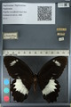http://mczbase.mcz.harvard.edu/specimen_images/ent-lepidoptera/images/2012_10_27/IMG_133359.JPG