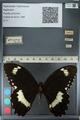 http://mczbase.mcz.harvard.edu/specimen_images/ent-lepidoptera/images/2012_10_27/IMG_133360.JPG