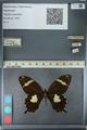 http://mczbase.mcz.harvard.edu/specimen_images/ent-lepidoptera/images/2012_10_27/IMG_133361.JPG