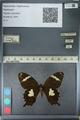 http://mczbase.mcz.harvard.edu/specimen_images/ent-lepidoptera/images/2012_10_27/IMG_133362.JPG