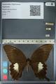 http://mczbase.mcz.harvard.edu/specimen_images/ent-lepidoptera/images/2012_10_27/IMG_133363.JPG