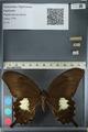http://mczbase.mcz.harvard.edu/specimen_images/ent-lepidoptera/images/2012_10_27/IMG_133365.JPG