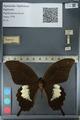 http://mczbase.mcz.harvard.edu/specimen_images/ent-lepidoptera/images/2012_10_27/IMG_133366.JPG