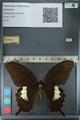 http://mczbase.mcz.harvard.edu/specimen_images/ent-lepidoptera/images/2012_10_27/IMG_133367.JPG