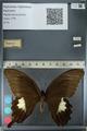 http://mczbase.mcz.harvard.edu/specimen_images/ent-lepidoptera/images/2012_10_27/IMG_133368.JPG