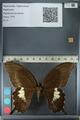 http://mczbase.mcz.harvard.edu/specimen_images/ent-lepidoptera/images/2012_10_27/IMG_133379.JPG
