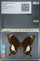http://mczbase.mcz.harvard.edu/specimen_images/ent-lepidoptera/images/2012_10_27/IMG_133383.JPG