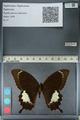 http://mczbase.mcz.harvard.edu/specimen_images/ent-lepidoptera/images/2012_10_27/IMG_133384.JPG