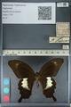 http://mczbase.mcz.harvard.edu/specimen_images/ent-lepidoptera/images/2012_10_27/IMG_133393.JPG