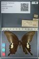 http://mczbase.mcz.harvard.edu/specimen_images/ent-lepidoptera/images/2012_10_27/IMG_133402.JPG