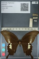 http://mczbase.mcz.harvard.edu/specimen_images/ent-lepidoptera/images/2012_10_27/IMG_133405.JPG