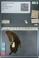 http://mczbase.mcz.harvard.edu/specimen_images/ent-lepidoptera/images/2012_10_27/IMG_133413.JPG