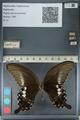 http://mczbase.mcz.harvard.edu/specimen_images/ent-lepidoptera/images/2012_10_27/IMG_133415.JPG