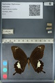 http://mczbase.mcz.harvard.edu/specimen_images/ent-lepidoptera/images/2012_10_27/IMG_133417.JPG
