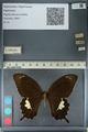http://mczbase.mcz.harvard.edu/specimen_images/ent-lepidoptera/images/2012_10_27/IMG_133418.JPG