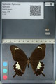 http://mczbase.mcz.harvard.edu/specimen_images/ent-lepidoptera/images/2012_10_27/IMG_133419.JPG