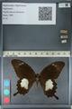 http://mczbase.mcz.harvard.edu/specimen_images/ent-lepidoptera/images/2012_10_27/IMG_133426.JPG