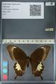 http://mczbase.mcz.harvard.edu/specimen_images/ent-lepidoptera/images/2012_10_27/IMG_133431.JPG