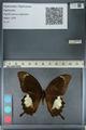 http://mczbase.mcz.harvard.edu/specimen_images/ent-lepidoptera/images/2012_10_27/IMG_133432.JPG