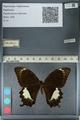 http://mczbase.mcz.harvard.edu/specimen_images/ent-lepidoptera/images/2012_10_27/IMG_133434.JPG