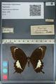 http://mczbase.mcz.harvard.edu/specimen_images/ent-lepidoptera/images/2012_10_27/IMG_133435.JPG