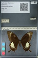 http://mczbase.mcz.harvard.edu/specimen_images/ent-lepidoptera/images/2012_10_27/IMG_133436.JPG
