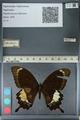 http://mczbase.mcz.harvard.edu/specimen_images/ent-lepidoptera/images/2012_10_27/IMG_133437.JPG