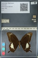 http://mczbase.mcz.harvard.edu/specimen_images/ent-lepidoptera/images/2012_10_27/IMG_133438.JPG