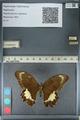 http://mczbase.mcz.harvard.edu/specimen_images/ent-lepidoptera/images/2012_10_27/IMG_133439.JPG
