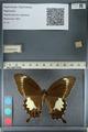 http://mczbase.mcz.harvard.edu/specimen_images/ent-lepidoptera/images/2012_10_27/IMG_133440.JPG